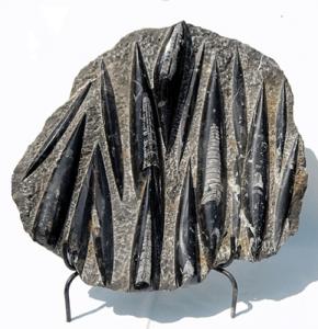 Black Rare Fossils